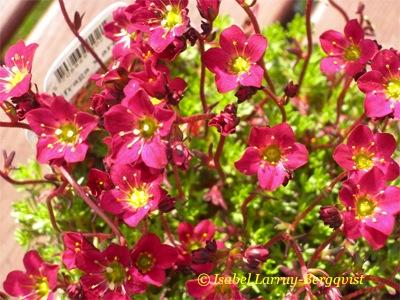 runka skönare eskorter rosa
